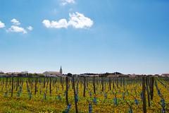 Vignes jaunes (Photographer ninja) Tags: island vignes vignoble eglise iledere springsun vignobles charentesmaritimes reisland soleildeprintemps