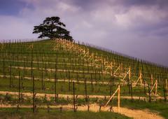 _DSC4876_il-cedro1 (giuseppe_bruzzone) Tags: alberi natura cedro