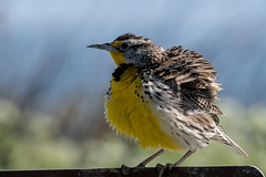 All Puffed Up And Proud Meadowlark (MelRoseJ) Tags: california nature birds unitedstates sony alpha willows autofocus westernmeadowlark sacramentonationalwildliferefuge sonyalpha sal70400g a77ii sonyilca77m2