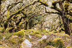 Wistman's Wood (Keith in Exeter) Tags: uk england tree nature rock woodland landscape nationalpark moss oak unitedkingdom outdoor devon gb granite dartmoor wistmanswood sssi