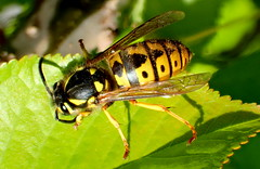 European Wasp - Vespula germanica (elliott.lani) Tags: color colour green nature leaves flying wings wasp bright stripes sting insects biting foliage colourful lani allrightsreserved patterned naturephotography vespulagermanica gardenbeds europeanwasp elliottlani lanielliott