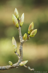 Budding out (Philip Lench) Tags: woodland spring worcestershire kidderminster hurcott