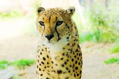 Male Cheetah, Asnaro of Yokohama Zoological Gardens :  (Dakiny) Tags: park nature animal yellow japan mammal zoo spring nikon feline outdoor bigcat april cheetah yokohama tamron kanagawa 2016 zoorasia savagebeast a005 beastofprey yokohamazoologicalgardens d7000 nikonclubit modela005 sp70300mmf456divcusd asahiward