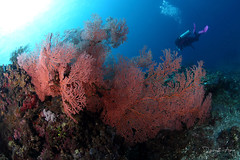 Seafan (Randi Ang) Tags: bali coral canon indonesia photography eos underwater angle wide dive scuba diving fisheye ang 15mm randi 6d amed seafan