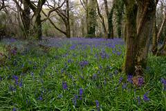 (Freester) Tags: bluebells dorset canonefs1022mmf3545usm dewlish milbornestandrew milbornewoods