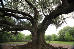 Canon206470 (godrudy6661) Tags: neworleans audubonpark treeoflife oaktrees