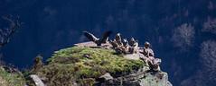 ItsusikoHarria-46 (enekobidegain) Tags: mountains montagne vultures monte euskalherria basquecountry bui pyrnes pirineos mendia buitres paysbasque nafarroa pirineoak bidarrai saiak vautours itsasu itsusikoharria