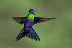 Crowned Woodnymph (www.jessfindlay.com) Tags: costarica hummingbird violetcrownedwoodnymph thaluraniacolombica crownedwoodnymph wwwjessfindlaycom jessfindlayphotography