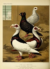 n431_w1150 (BioDivLibrary) Tags: pigeons fieldmuseumofnaturalhistorylibrary bhl:page=49799299 dc:identifier=httpbiodiversitylibraryorgpage49799299