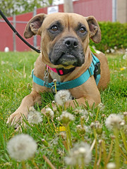 Sarah_05 (AbbyB.) Tags: flowers rescue dog pet yard newjersey weeds canine boxer shelter adopt shelterpet petphotography easthanovernj mtpleasantanimalshelter