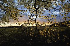 gold (dawn.v) Tags: uk sunset england tree leaves gold golden spring nikon branch dorset april backlit 2016 maybankholidayweekend