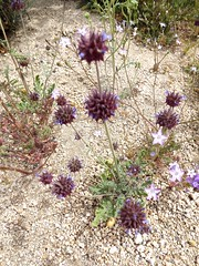 wildflowers (h willome) Tags: california desert hiking joshuatree wildflowers joshuatreenationalpark 2016 cottonwoodsprings