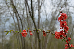 17/52 Leaf or Flower Buds (flailing DORIS aka Fur Will Fly) Tags: pink red orange plant flower nature leaf spring branch blossom buds bud