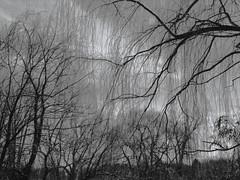 Voilage nature (Artbyseed (Amiela)) Tags: tree arbre voile saule voilage