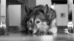 "my sweet ""Nukka"" (b/w) (d@neumi) Tags: bw dog white black monochrome animal lumix blackwhite husky dof panasonic hund siberianhusky siberian g7 boket"