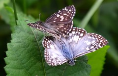 Acasalamento de Borboletas / Mating Butterflies (Joo Gabriel S.S.) Tags: brazil verde folhas brasil nikon natureza explore bahia manual amador borboletas insetos in acasalamento itabuna explorar d3100