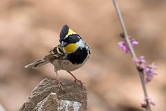 Yellow-throathed-bunting-N81_1233 (Niklas_N) Tags: china bird nature wildlife kina d810 nikkorafs500mmf4edvr