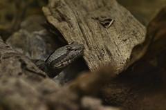 Banded rock rattlesnake (Crotalus lepidus klauberi) _DSC0291 (ikerekes81) Tags: rock zoo washingtondc smithsonian dc nikon reptile snake national nationalzoo kerekes rattlesnake ik istvan venomous banded crotalus rdc nikond3200 dczoo bandedrockrattlesnake smithsoniannationalzoologicalpark smithsoniannationalzoo lepidus d3200 washingtondczoo reptilediscoverycenter zoosmithsonian 18105mm klauberi sb700 crotaluslepidusklauberi istvankerekes reptilediscoverycenterzoonationalnational bandedrockrattlesnakecrotaluslepidusklauberi