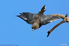(707a) Dusky Woodswallow - [ Woodland Historic Park, Melbourne, Australia ] (tinyfishy's World Birds-In-Flight) Tags: