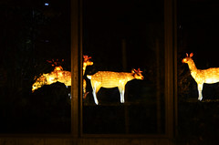 Deer Lantern Through Window (pokoroto) Tags: autumn canada calgary window october deer alberta lantern through 10 2015     kannazuki   themonthwhentherearenogods 27