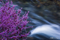 Flowing Redbud - Merced River Recreation Area, California (Greg Mitchell Photography) Tags: california above street morning blue building nature k yellow skyline architecture clouds sunrise wednesday landscape march spring high downtown cityscape view purple hiking forum january citylife lavender canyon trail poppy highrise sacramento 9th mariposa redbud partners 1107 mercedriver rubicon tactile 2014 kstreet laruen recreationarea hitescove