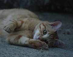 IMG_1605 (artiacoilaria) Tags: cats animals cat gatto animali