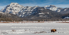 big country (chasingthewildoutdoors) Tags: winter snow mountains cold animal canon landscape big buffalo december bison ynp 2015 yellowstonepark 5dii