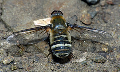 Bee-fly Villa sp (Simon Grove (TMAG)) Tags: australia villa tasmania diptera insecta taroona bombyliidae tasmanianmuseumandartgallery december2015 tmagzoology