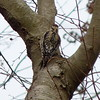 Yellow-bellied Sapsucker (Dendroica cerulea) Tags: winter bird birds newjersey woodpecker nj aves newbrunswick rutgersuniversity sapsucker yellowbelliedsapsucker helyarwoods sphyrapicusvarius sphyrapicus pici fav10 middlesexcounty rutgersgardens piciformes picidae picinae dendropicini picides