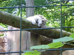 P1010112 (laurent.daull) Tags: france zoo animaux zoodebeauval 2013 tigreblanc