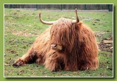 Schottisches Hochlandrind (p_jp55 (Jean-Paul)) Tags: animal luxembourg highlandcattle luxemburg saarlorlux kyloe schottischeshochlandrind eschsuralzette lëtzebuerg gaalgebierg eschuelzecht eschanderalzette escherdéirepark