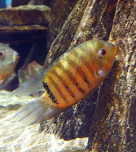 Greater Cleveland Aquarium 01-22-2015 - Unknown Fish 12