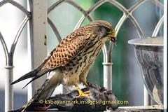 Red Tailed Hawk Eating Pigeon -116 (Kabayanmark Images) Tags: urban sun bird nature day natural eating pigeon feather korea raptor redtailhawk plume plumage