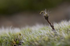 Standing Tall (Moss Macro) (piledriver061) Tags: moss handheld