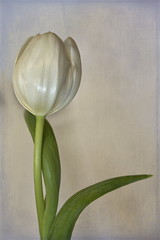 Single White Tulip (suzanne.gibson) Tags: white painterly flower macro texture botanical one indoor single tulip flypaper