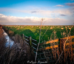 Halvergate Marshes, a very bright and cold day, with a few wooly jumpers ! (lizzieisdizzy) Tags: cold clouds reeds wooden gate stream sheep flat country scenic dry distance feilds