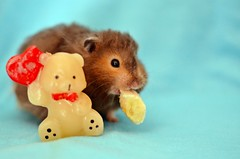 Be my valentine? (Christine Black/TheMadGirl) Tags: pet cute valentine hamster fofo hamsters beau