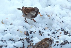 Photo-bomb! (hmthelords) Tags: bird seeds sparrow backyardbirds photobomb