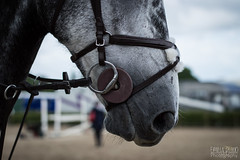 Grey muzzle (Emily Flood) Tags: show horse grey equestrian equine muzzle workinghunter equifestival mullingarequestriancentre