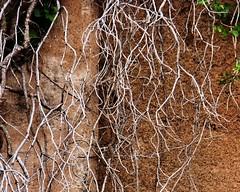 Jerome, AZ (studioferullo) Tags: arizona abstract texture vine jerome minimalism verdevalley