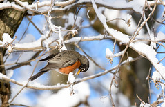 Spring Robin (snooker2009) Tags: winter snow bird nature robin spring pennsylvania wildlife
