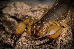 Queensland Desert Scorpion - Urodacus-macrurus (Fernando Leal Photography) Tags: macro australia escorpião undaranationalpark