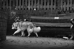 Street Dog (phlorgan) Tags: street bw dog husky a6000