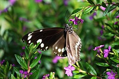 A Euploea Core Butterfly feeding on small cuphea flowers (Pamela Jay) Tags: wild brown india white nature butterfly insect asia wildlife indian australia spot nsw crow common core danainae euploea pamelajay