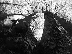 Giants (lunat1k) Tags: trees winter sky blackandwhite monochrome silhouette forest outdoor lookingup bulgaria cube giants chiaroscuro thecube vitosha gopro hero4 goprooftheday hero4session