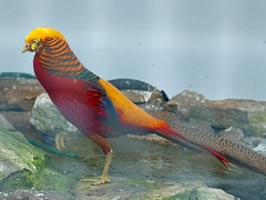 golden pheasant (auroradawn61) Tags: uk england bird golden march pheasant caged dorset aviary bournemouth goldenpheasant 2016 bournemouthgardens lumixlx100 116photosin2016