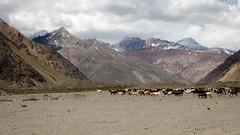 xodo (Felipe Rojas Santander) Tags: sky mountain andes animales montaa cabras cajondelmaipo