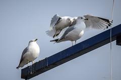 3's company (KWPashuk) Tags: park ontario canada bird burlington flying nikon wildlife seagull landing urbanwildlife lasalle perched d7200 tamron150600mm kwpashuk kevinpashuk