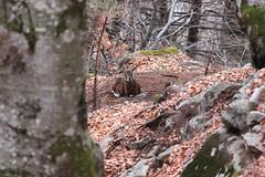 Muflone (Mattia Campiglio) Tags: trentino campiglio ovis muflone musimon