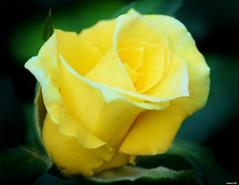 My Front Yard. (Eugene1959) Tags: myfrontyard theyellowrose flowersandmacros nikond3300mynewestcamera